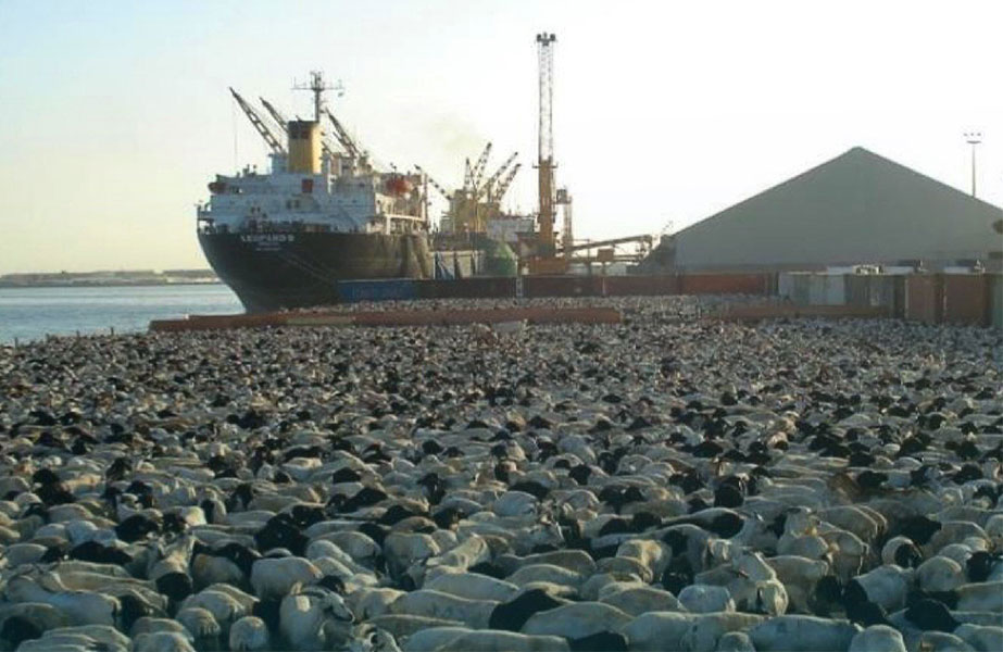Livestock traffic moving through Saudi ports has increased significantly this year